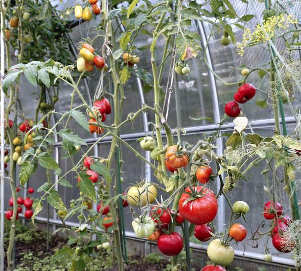 Pomidory w tunelu foliowym - uprawa pomidorów