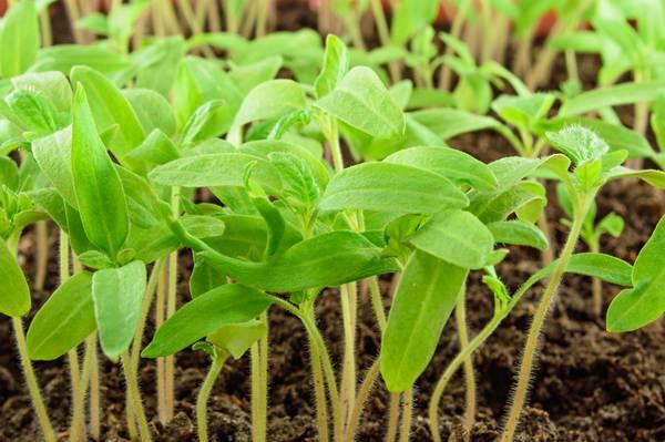 Wysiew pomidorów i wsadzanie sadzonek do gruntu.