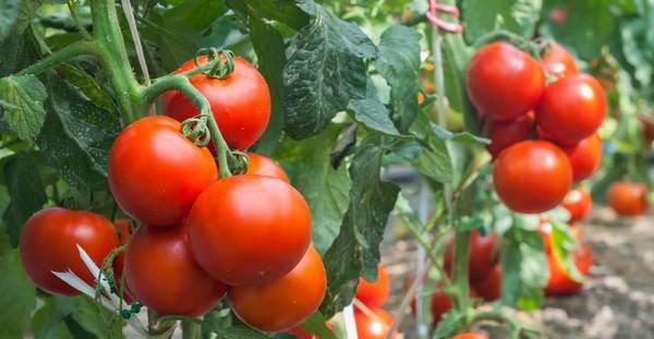 Wybór odmian pomidorów