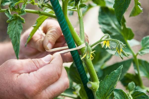 Zabiegi przy uprawie pomidorów