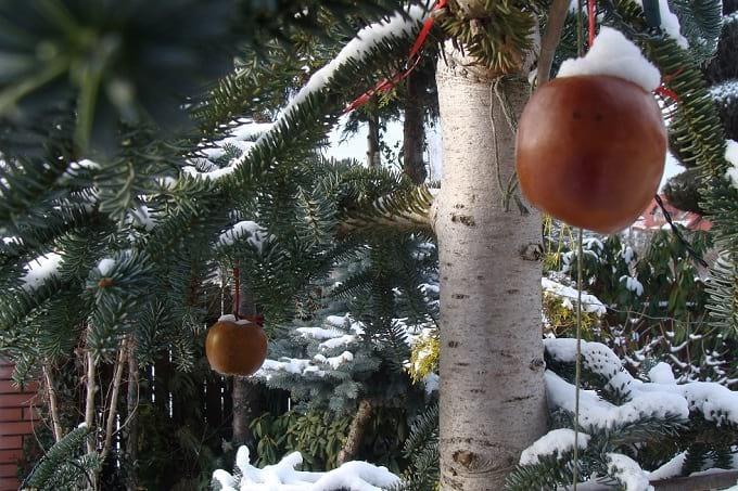 Jabłka podwieszone na sośnie.