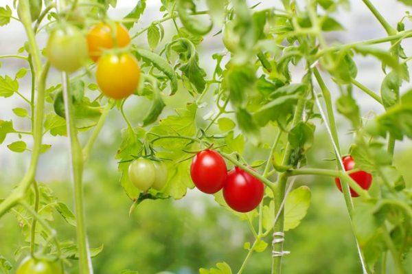 Wysadzanie pomidorów do gruntu