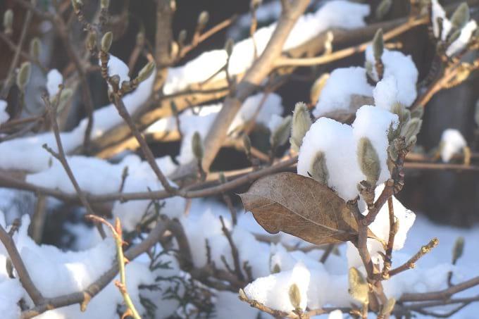 Pączki magnolii rozwijają się w okresie zimy.