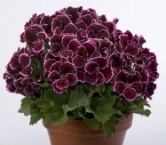 Peralgonia angielska Aristo Black Beauty