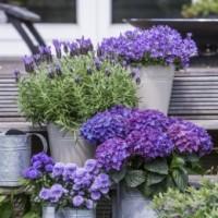 Niebieskie kwiaty: dzwonki, lawenda, hortensja, aster, hebe