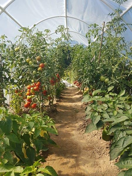 Jak podwiązać pomidory gruntowe właściwie - krzaki wsparte na palikach