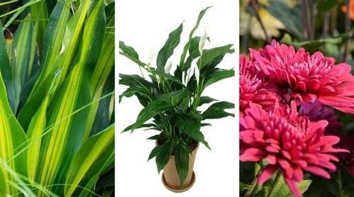 Ochrona przed smogiem - rośliny oczyszczające powietrze w domu