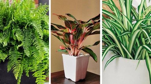 oczyszczające powietrze właściwości roślin